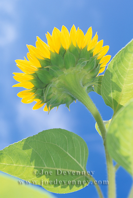 Garden sunflower in full bloom on a clear blue sly, summer day. Unity, Maine