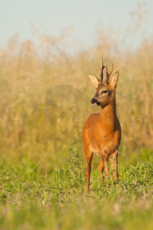 Roe Deer (Capreolus capreolus) buck in set-aside field, Norfolk, UK.