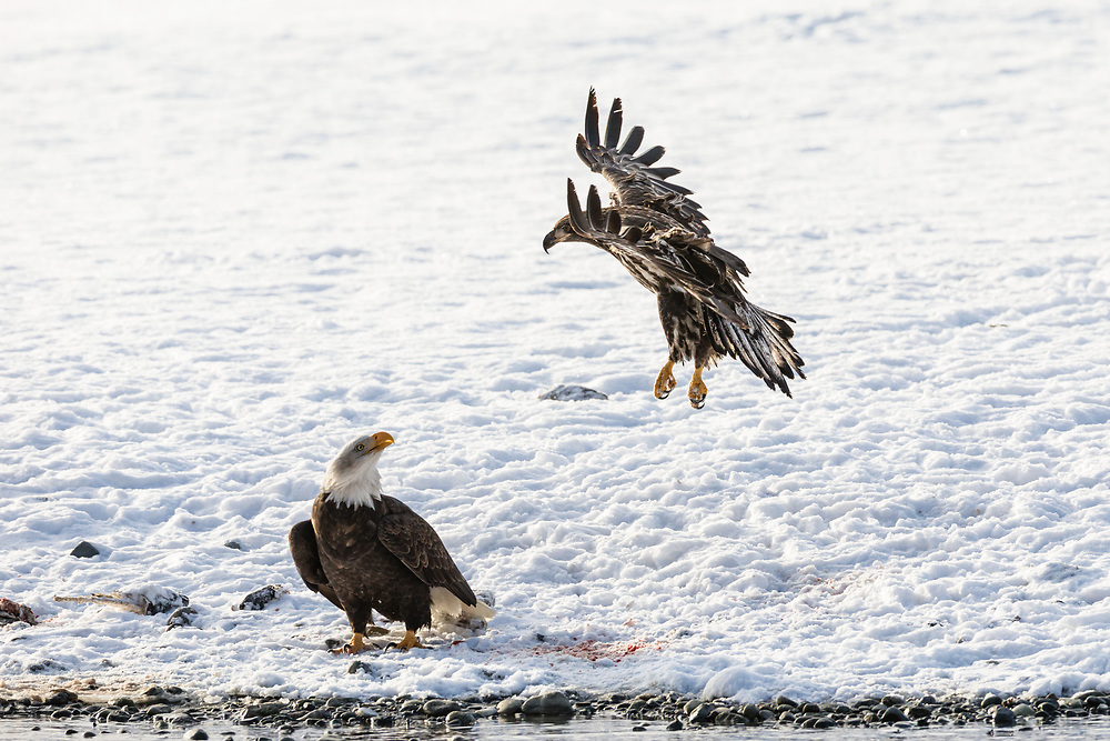 Juvenile Bald Eagle (Haliaeetus leucocephalus) flies over another eagle foraging on Chum salmon along the Chilkat River in the Chilkat River Bald Eagle Preserve in Southeast Alaska. Winter. Afternoon.