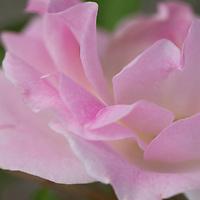 Morden Blush Rose (Rosa x 'Morden Blush')