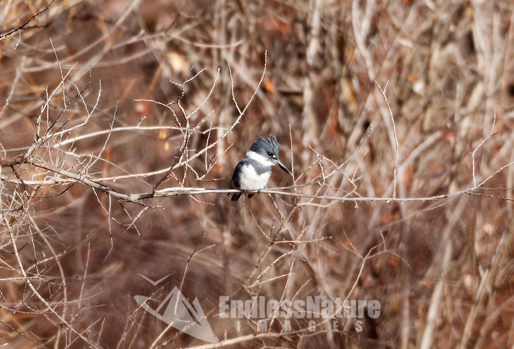 A male Belted Kingfisher perched along a river early in December in Utah enjoying the sun the winter snows are still a no show at this time.