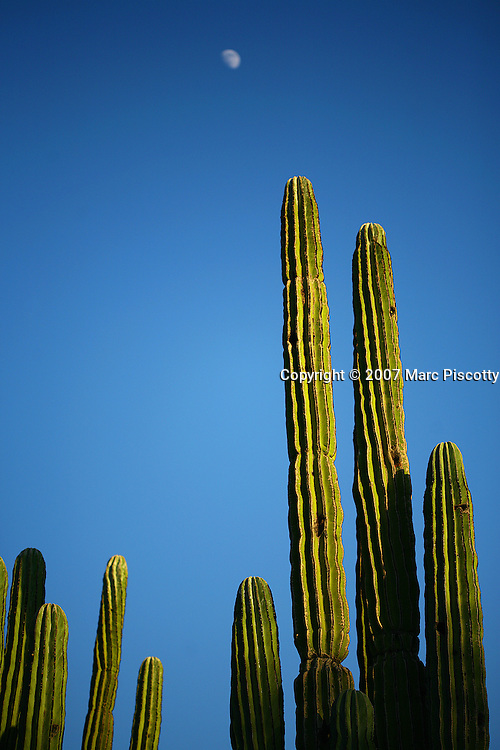 "SHOT 12/18/2007 - Saguaro push skyward as the sun sets and the moon rises over the desert in Phoenix, Az. Saguaro, pronounced ""sah-wah-roh"", (Carnegiea gigantea) is a large, tree-sized cactus species in the monotypic genus Carnegiea. It is native to the Sonoran Desert in Arizona and California, United States and northern Mexico. Saguaros are slow growing, taking up to 75 years to develop a side arm. The arms themselves are grown to increase the plants reproductive capacity (more apices equal more flowers and fruit). The Desert Botanical Garden is a 50 acre (20 ha) botanical garden located within Papago Park in Phoenix, Arizona, USA. Founded in 1939, the garden now has more than 21,000 plants, including 139 species which are rare, threatened or endangered. Of special note are the rich collections of agave (176 taxa) and cacti (10,350 plants in 1,350 taxa), especially the Opuntia sub-family. The Desert Botanical Garden has been designated as a Phoenix Point of Pride..(Photo by Marc Piscotty/ © 2007)"