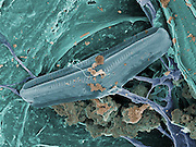 Thermophilic bacteria . Collected in the summer of 2012 in 60C water in Yellowstone National Park, Wyoming USA.  This scanning electron micrograh (SEM) was shot at 4,580X magnification and the filed of view is 27 um.  This type of bacteria is adapted to thrive at high water temperatures and is currently the focus of biological researchers.   Bacteria that can live in these extreme conditions are called thermophiles or extremophiles.