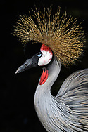 A portrait of a grey crowned crane (Balearica regulorum) at the Parque das Aves at the Iguazu Falls, Brazil