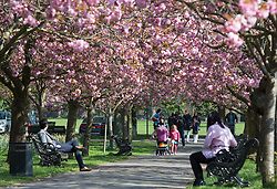 © Licensed to London News Pictures. 07/04/2017. Greenwich, UK. People pictured enjoying the avenue of cherry blossom in Greenwich Park which is popular each Spring. Photo credit : Rob Powell/LNP