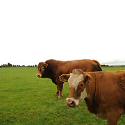 Cattle, from the farmer Enda Doran, grazing in a field outside in Ballinasloe, Co. Galway...Mr. Doran is the eldest of 3 brothers and sisters and by tradition the heritor of the family farming land and business. His farming activities involve cereal and potato production, cattle and sheep breathing and contract work for other farmers.