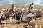 Brown Pelican (Pelecanus occidentalis)-Ashore at La Jolla Cove, San Diego, CA