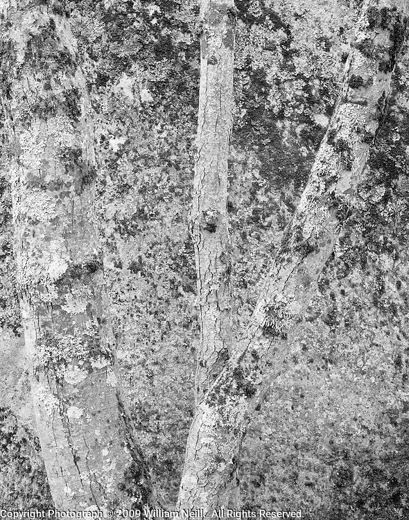 Lichen-covered alder and granite boulder along the Merced River,  Yosemite National Park, California