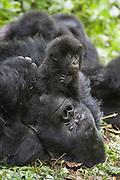 Mountain Gorilla<br /> Gorilla gorilla beringei<br /> 1.5 year old baby playing on silverback<br /> Parc National des Volcans, Rwanda<br /> *Endangered species