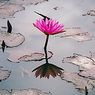Lotus Flower reflection, Thailand