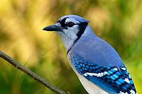 Blue Jay Cyanocitta cristata Green Cay Nature Area Delray Beach Florida USA