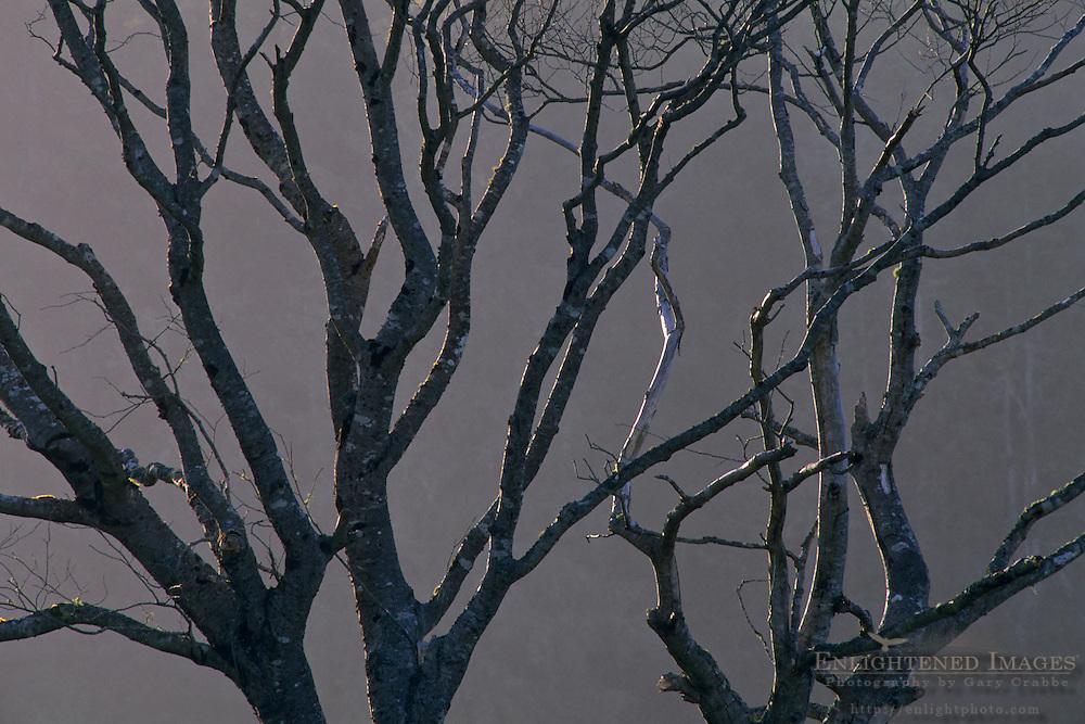 Barren Tree branches, Del Norte County, California