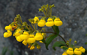 "Unidentified plant with ""baby shoe shaped"" yellow flowers from Yanacocha, Ecuador. Altitude about 3500 meters."