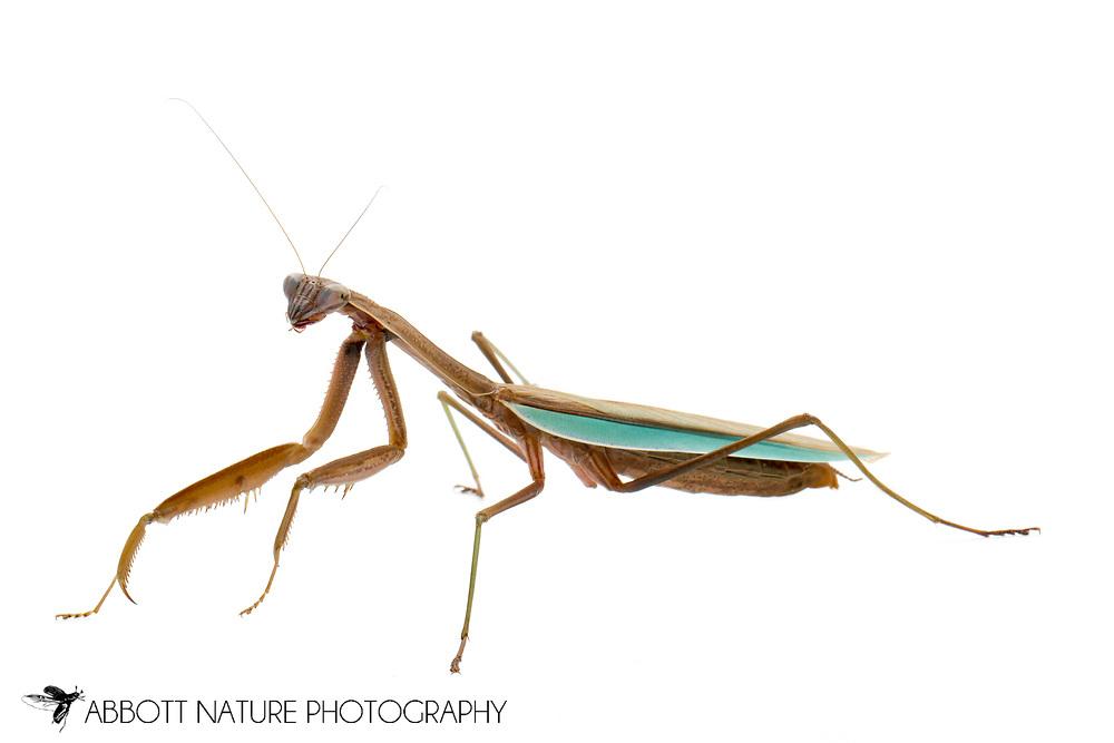 Chinese Mantis (Tenodera sinensis sinensis)<br /> TEXAS: Travis Co.<br /> Austin<br /> 28-Jan-2012<br /> J.C. Abbott<br /> captive individual