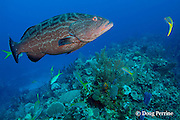 yellowmouth grouper, Mycteroperca interstitialis, Cypress Canyons, Ambergris Caye, Belize, Central America ( Caribbean Sea )