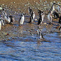 Flock of Penguins at Penguin Reserve on Magdalena Island, Chile<br /> Magellanic penguins prefer to do almost everything in large flocks. They breed and nest as a colony, they hunt in numbers and they travel on their migratory routes as a group. And when they are not guarding their burrows, they gather together to socialize.