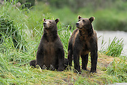 Katmai Alaska Brown Bears Group 2