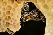 Honey bee (Apis mellifera), Kiel, Germany | Links im Bild sind zwei Königinnenzellen (Weiselzelle) der Honigbiene (Apis mellifera) zu sehen. Die Zellen werdnen von Arbeiterinnen gepflegt. Kiel, Deutschland