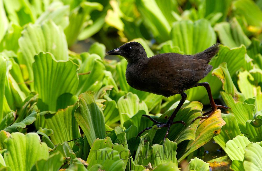 Immature Black Crake on water cabbage,  Grumeti, Tanzania, East Africa