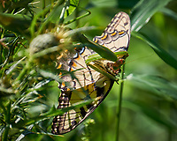 Darwin Award Winner. This Eastern Tiger Swallowtail Butterfly Got Too Close to the Praying Mantis in the Thistle Bush. Image taken with a Fuji X-T1 camera and 100-400 mm OIS lens (ISO 200, 400 mm, f/5.6, 1/400 sec).