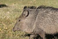 Javelina, Big Bend National Park, Texas