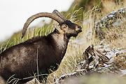 EN. Spanish Ibex (Capra pyrenaica). Sierra de Gredos, Avila, Spain.<br /> ES. Cabra Mont&eacute;s (Capra pyrenaica). Sierra de Gredos, &Aacute;vila, Espa&ntilde;a.
