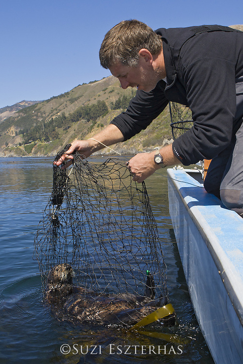 Southern sea otter (Enhydra lutris) researcher Tim Tinker holding captured otter in net <br /> Researchers will implant time depth recorder, take blood samples and tag flippers<br /> Big Sur Coastline, CA