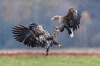 Seeadler im Kampf