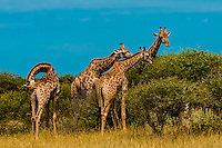 Giraffes eating leaves from trees, Nxai Pan National Park, Botswana.