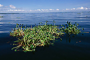 A clump of floating water hyacinths in Lake Victoria near the Ssese Islands, Uganda. Thick mats of water hyacinths have curtailed fishing on the lake, creating a huge environmental problem for locals whose livelihood depends on fishing.