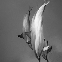 Hawaiian Spinner Dolphins descend slowly underwater on the Kona Coast, Hawaii.