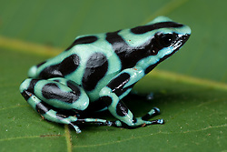 Green Poison Arrow Frog (Dendrobates auratus), Costa Rica.