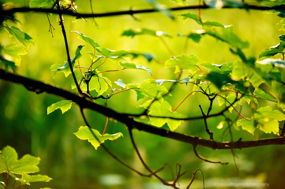 Leaves on a tree bask in the evening sun