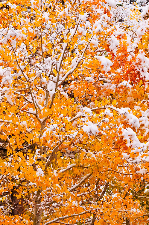 Fresh snow on fall aspens along Bishop Creek, Inyo National Forest, Sierra Nevada Mountains, California USA