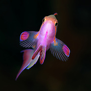 Head-on view of a male jewel fairy basslet (Pseudanthias squamipinnis), photographed in the Eastern Fields of Papua New Guinea