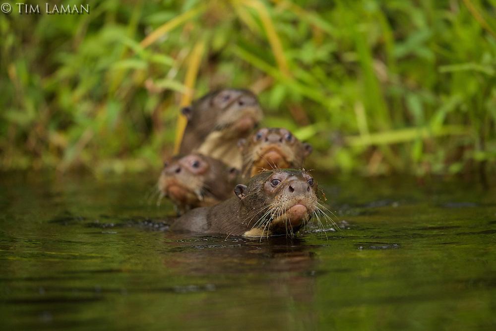 Giant River Otters (Pteronura brasiliensis) in Anangu lagoon, Yasuni National Park, Orellana Province, Ecuador