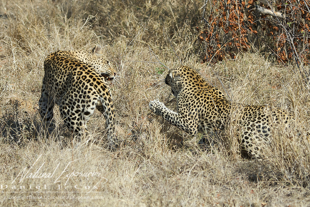 Leopard, the mother leopard strikes out at the male with her front claws. Eventual fight ensues. Timbavati Game Reserve, South Africa.