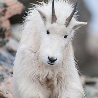 young mountain goat in rocks
