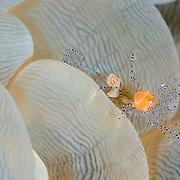 Periclimenes venustus shrimp in Lembeh Straits, Indonesia.