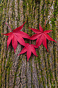 Three autumn leaves from a nearby Japanese Maple (Acer palmatum) have fallen onto the moss covered trunk of a Norway Maple (Acer platanoides) in Belmont, Massachusetts.  Moments later, a breeze blew the leaves off the trunk.