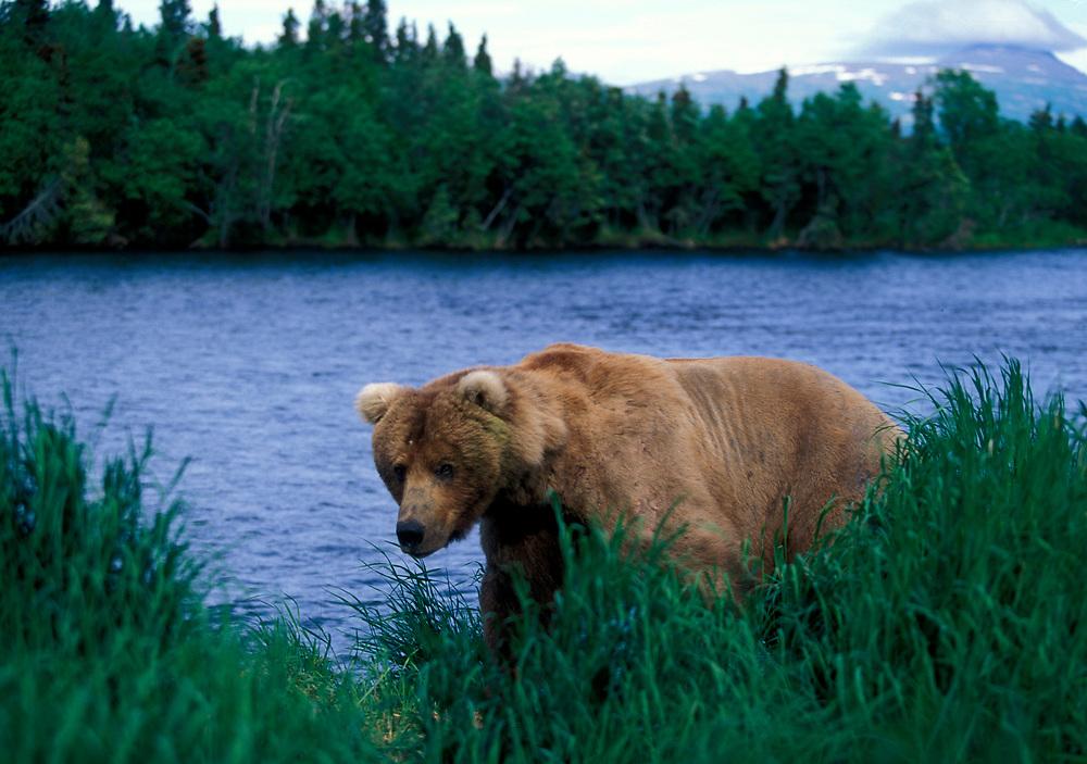 USA, Alaska, Katmai National Park, Grizzly Bear (Ursus arctos) walks through tall summer grass along Brooks River