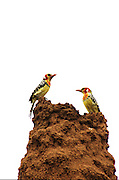 Africa, Ethiopia, Red-and-yellow Barbet (Trachyphonus erythrocephalus) sitting on a termite hill