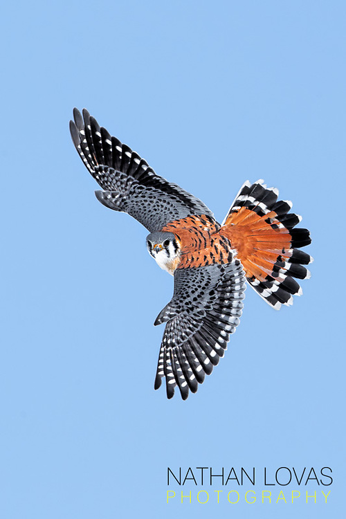 American Kestrel in flight;  MInnesota.