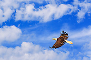 Inspirational photo of an eagle soaring.