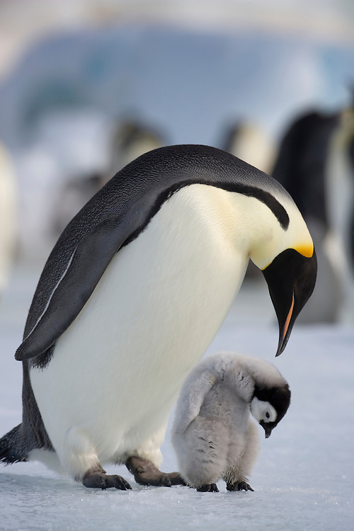Antarctica, Snow Hill Island, Emperor Penguin (Aptenodytes forsteri) with young chick standing on frozen sea ice on sunny afternoon