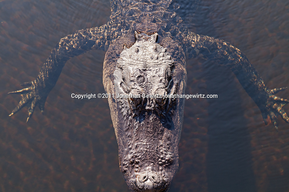 An American alligator (Alligator mississippiensis) seen from above as it floats in Taylor Slough on the Anhinga Trail in Everglades National Park, Florida. WATERMARKS WILL NOT APPEAR ON PRINTS OR LICENSED IMAGES.<br /> Licensing: https://tandemstock.com/assets/63355640