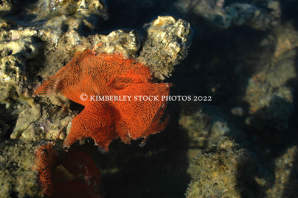 A rare sighting; an egg mass from a large nudibranch, Asteronutus cespitosus, clings to coral on a reef on the Kimberley coast.