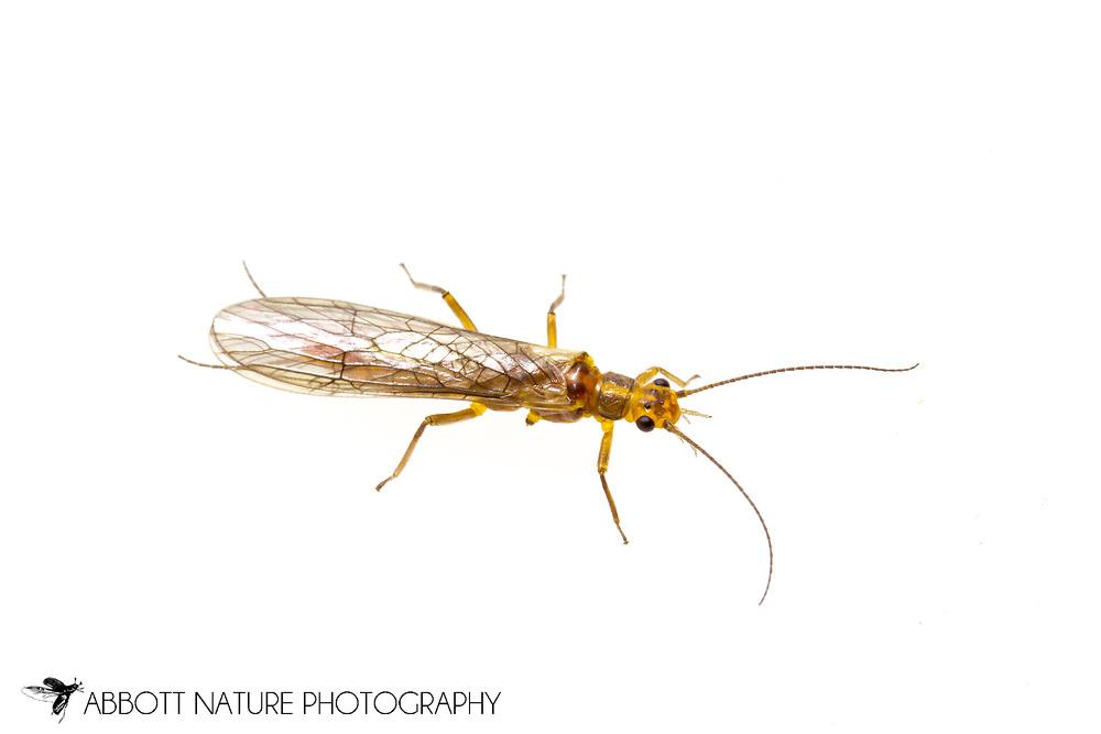 Common Stonefly (Perlesta sp.)<br /> TEXAS: Jasper Co.<br /> Brookeland/Lake Sam Rayburn @ 505 Co Rd 212<br /> 30/Mar-4/Apr/2015<br /> J.C. Abbott #2710 &amp; K.K. Abbott