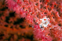 Pygmy Seahorse on Gorgonian..Shot in West Papua Province, Indonesia