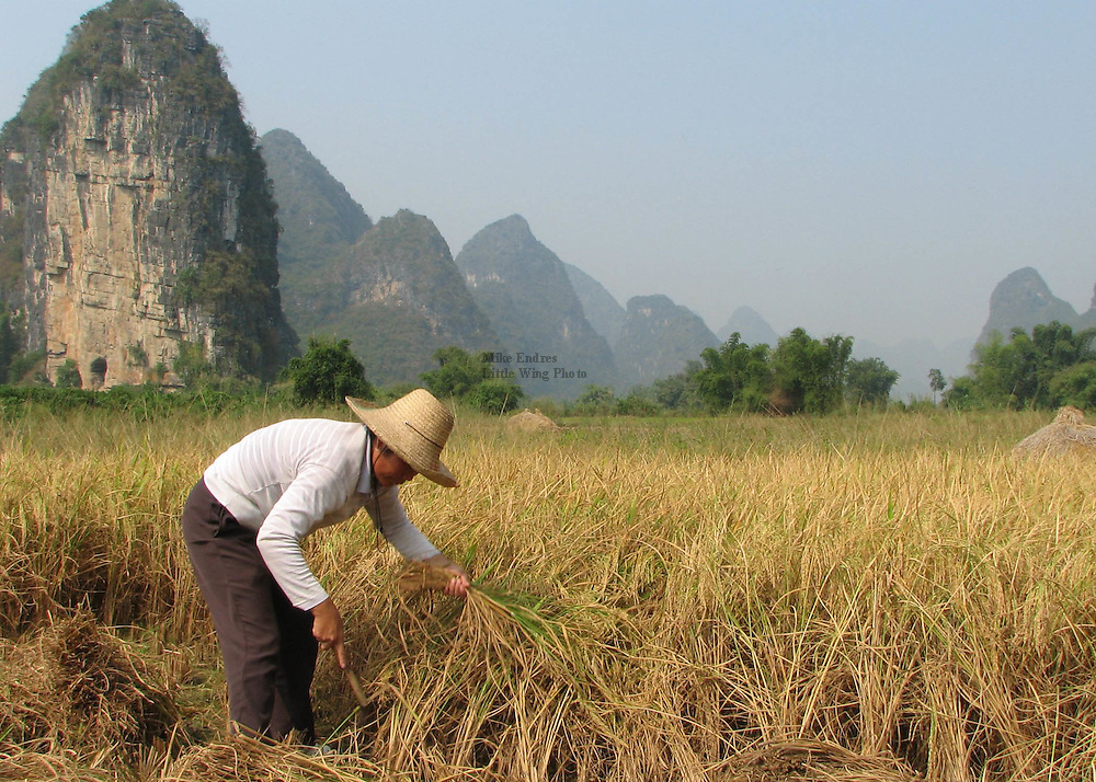 Rice, the sustenance of much of Asian's human population, is commonly planted, grown, and harvested by hand in many parts of rural China. While not necessarily the most efficient means of producing crops, it is a seemingly more intimate and seasonly rthythmic engagement with agriculture.